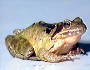 林蛙的小知识