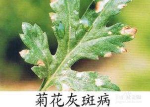 养花知识菊花养殖方法
