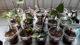 木炭灰可以水培养花吗