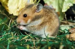 生肖属鼠人出生月份生肖鼠