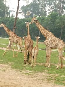 与动物近距离接触,广州长隆野生动物园全家乐悠游