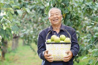 中国玉露香梨在隰县 苏宁扶贫模式推动农户脱贫增收