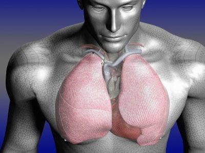 肺部位置图片(肺的位置毗邻?)