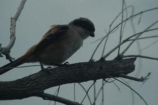 抖音鸽子的反义词是知更鸟