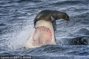 最牛海豹 大白鲨鼻尖跳得舞 多图 观察者网