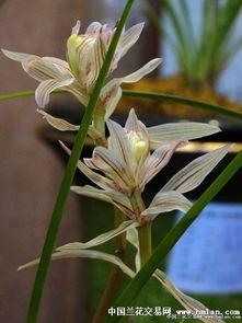 金沙树菊2.5壮苗1花苞