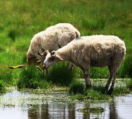 91出生属羊的运程