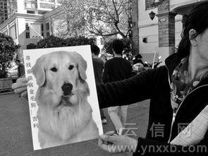 工作两年不慎丢失主人的金毛猎犬 狗保姆 面临失业