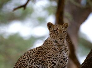 猎豹野生动物野外风景动物世界图库图片素材模板下载2.42MB其他大全其他