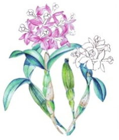 水粉石斛兰的绘画教程 3