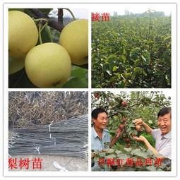 上海市玉露香梨树苗,玉露香梨树苗哪里多
