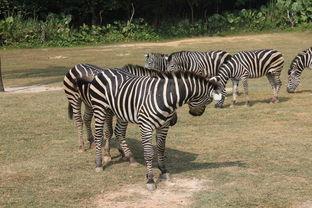番禺长隆野生动物世界番禺长隆野生动物世界番禺长隆野生动物世界大概40分钟走完五大洲,呵呵,洗手间安排合理,很方便~~番禺长隆野生动物世界小火车四个人一排,我们占据了一排,比较舒服,这是乘车游览区,可以看到五大洲野生动物,小朋友