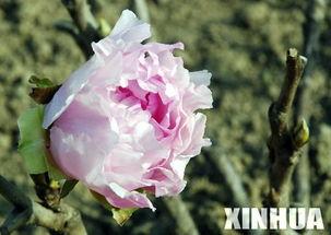 安徽巢湖牡丹花反季节开放