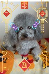 灰泰迪 灰白花泰迪幼犬出售