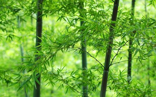 绿色护眼竹子清新图片桌面高清壁纸手机壁纸下载美桌网