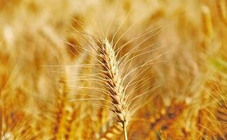 小麦怎么处理过后可以钓鱼