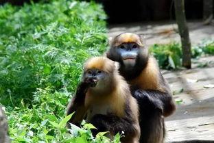 黔金丝猴是什么属性?