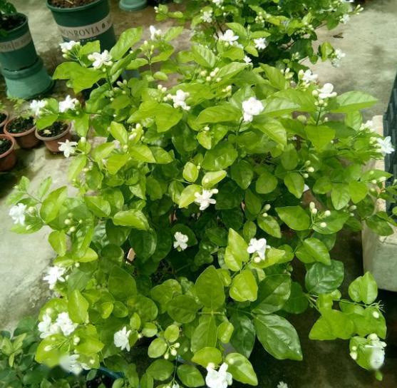 松针土直接养花