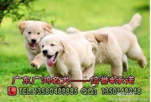 纯种金毛多少钱,金毛怎么看纯不纯,东莞金毛犬,广州金毛犬黄页88网