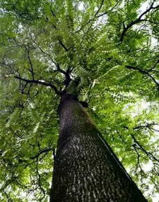 关于椿树的古诗词