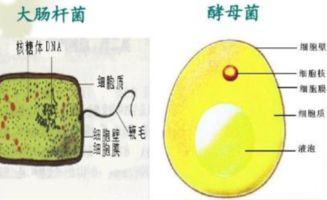 酵母 菌 真 核 生物