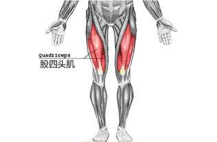 股四头肌的锻炼方法