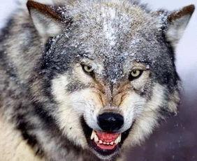 关于狼的谚语有