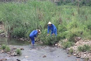 辣蓼草因能麻翻活鱼而出名,是酿酒大师的最爱,民间却用它捂柿子  辣蓼草酒曲的制作方法