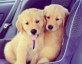 金毛饲养技巧,金毛幼犬多少钱一只 金毛犬市场价格大盘点 宠物狗