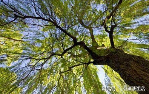 法桐树皮如何养花