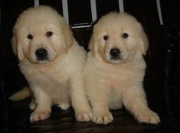 标题 无锡金毛狗狗一只多少钱金毛好养么无锡哪里有专卖金毛狗狗的呢金毛有哪些特点
