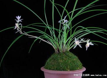 大美随意 金沙树菊