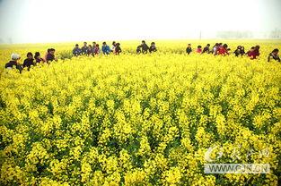 蔡甸油菜花节开幕 两万亩花海迎数千游客