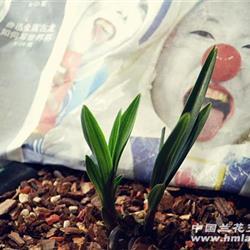 龙根苗 春剑素草 矮种圆头 起皮起瓢 中国