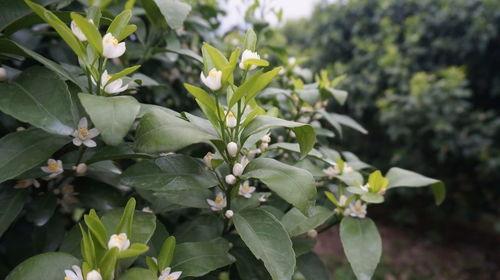 磷酸二氢钾,在柑橘着色、花芽分化、控梢保果期等,起到重要作用!  磷酸二氢钾的使用禁忌