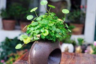 小茶罐养花