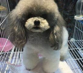 灰泰迪掉毛是什么原因,灰泰迪掉毛怎么办