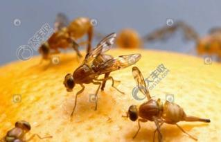 好恶心 柑橘里面有蛆 出现了柑橘大小实蝇怎么办