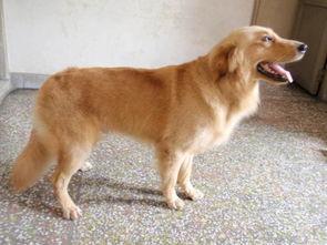 金毛犬照片