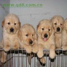 杭州出售金毛幼犬杭州金毛幼犬价格纯种健康上门看