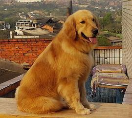 金毛犬的价格多少钱,幼犬的养殖和疾病预防