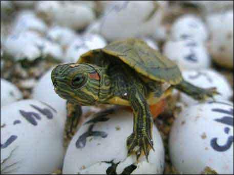 红耳龟都有哪些品种