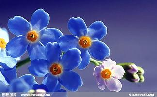 唯美高清蓝色花朵
