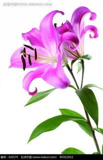美丽的香水百合图片免费下载 红动网