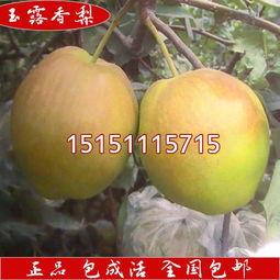 香梨树苗报价 厂家