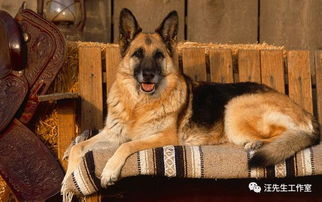 十大聪明狗狗排名,第一名你一定猜不到居然是他