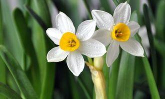 水仙的风水简介和寓意是怎样的(水仙花最适合放在家中的哪个地方)