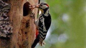 有关啄木鸟和树的作文