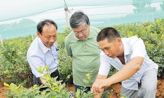 图为赵亚夫在现场指导戴庄蓝莓种植/摄