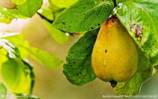 树上的香梨图片